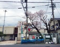 桜がさくらとして…