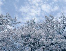 見上げた桜がエールを送ってくれています